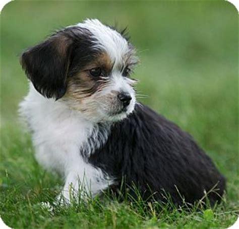 shih tzu rescue ri elmo adopted puppy providence ri shih tzu chihuahua mix