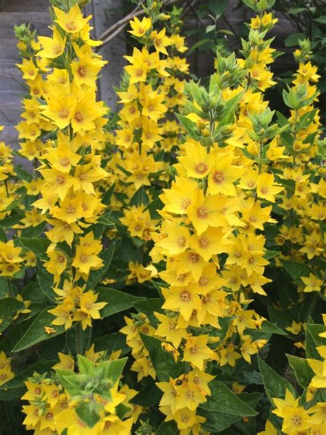 yellow loosestrife lysimachia punctata hardy perennial plant that grows 61 centimeters tall