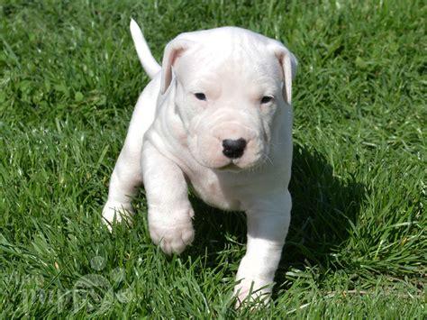 dogo argentino puppies for sale 2017 bonita dogo argentino puppy for sale puppy