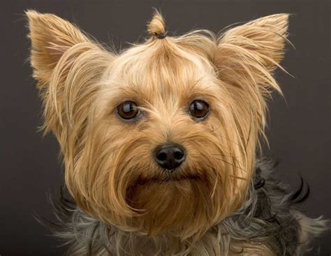 yorkies dogs terrier the of animals