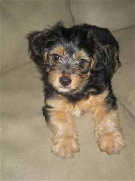 bichon frise yorkie mix terrier bichon frise mix with a touch of chiuaua whats your favouite