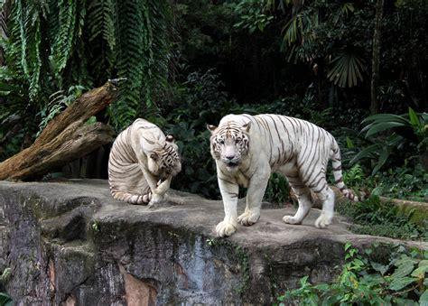 singapore zoo new year 2015 singapore zoo river safari safari