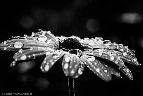 Nägel Weiß by Die 61 Besten Schwarzwei 223 E Blumen Hintergrundbilder