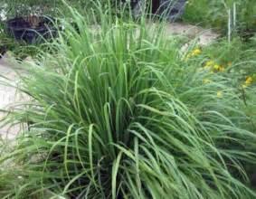 lemon grass 50 seeds cymbopogon herb ehouseholds com