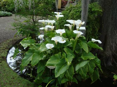 calla lily flowers add gracious beauty to landscaping ideas and yard decorations