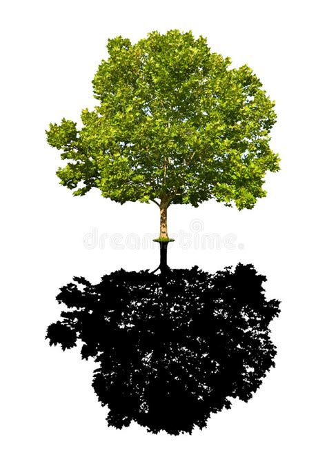 maple tree environment maple tree isolated royalty free stock images image 5824219