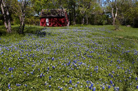 bluebonnets stock image image of state texensis beautiful 13862371
