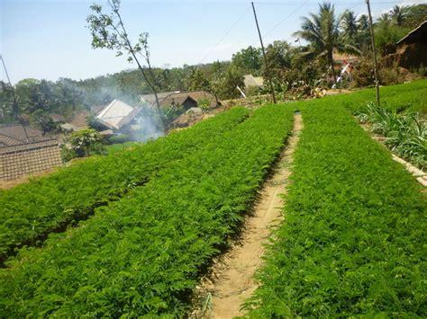 Bibit Jahe Merah Di Aceh jual bibit sengon di gianyar jual bibit tanaman unggul