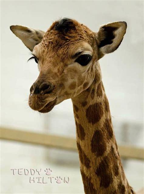 giraffe valentine quotes quotesgram