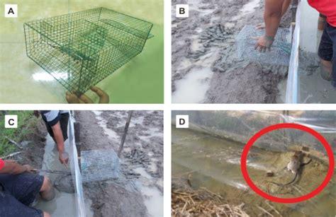 cara membuat perangkap tikus sawah cara mengatasi tikus sawah dengan tbs dan ltbs berbagi ilmu