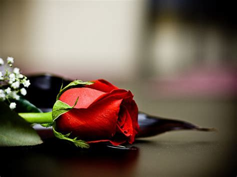 Amazing Red Roses Love Wallpapers And Backgrounds
