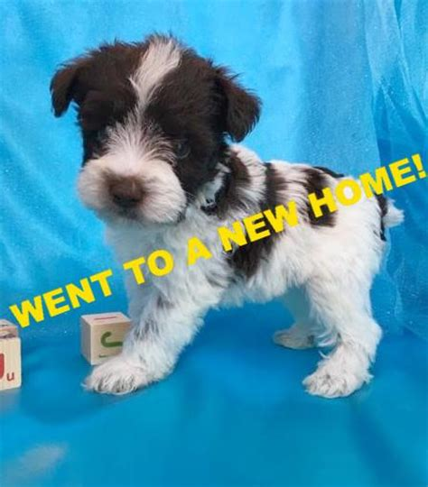 schnauzer puppies nc miniature schnauzer puppies for sale in carolina breeder in nc happytail puppies