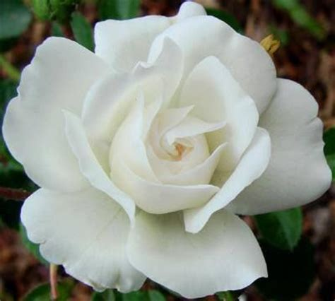 rosa blanca rose blanche 615 best rosas otras images on roses beautiful flowers and pretty flowers