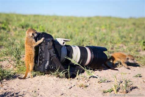 Le Photographe 370 by Un Suricate Utilise Un Photographe Comme Poste De
