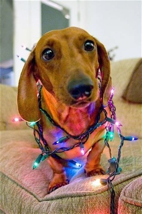 dog wrapped  christmas lights pictures   images  facebook tumblr pinterest