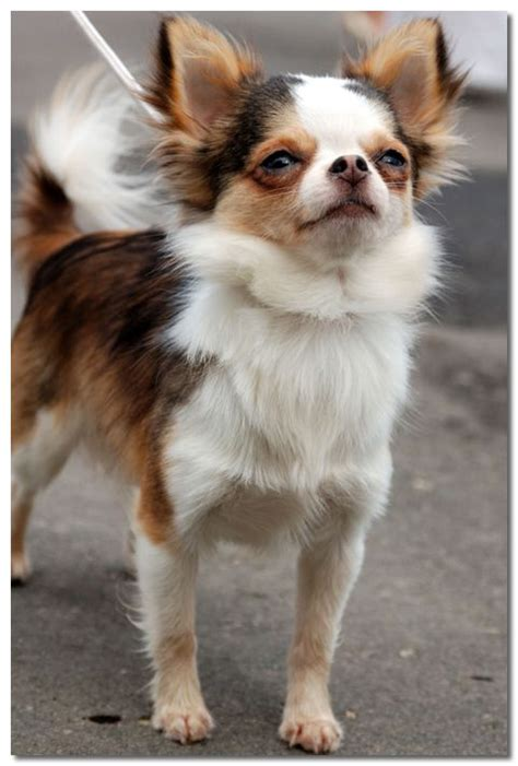 chihuahua lifespan average expectancy of the