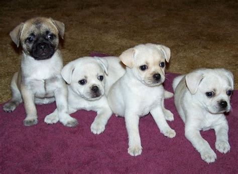rat terrier pug pug and rat terrier pugrat pug mix still a pug