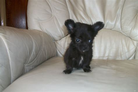 black chihuahua puppies chihuahua puppies boys 3 black i mexborough south pets4homes