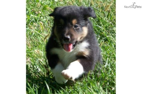 border collie puppies for sale in ohio border collies for sale in ohio breeds picture