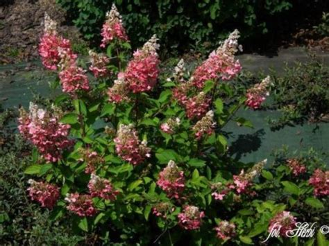 Hortensie Wims by Rispenhortensie Hydrangea Paniculata Winky