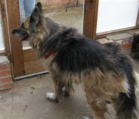 Matted Rescue by The Gsd With A Badly Matted Coat