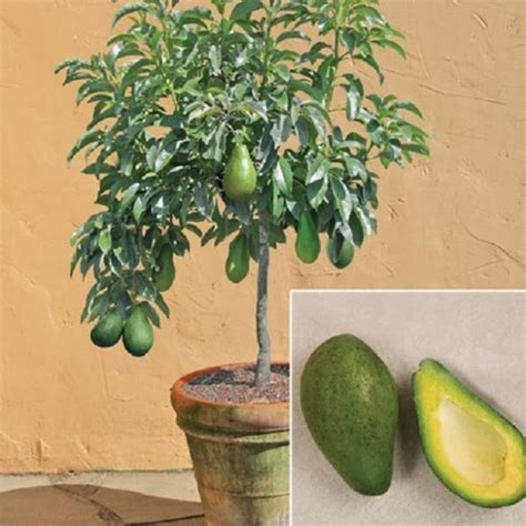 how to grow avocado in a pot garden pinterest serres