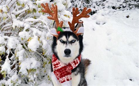 This Grumpy Husky Is so Over Your Holiday Cheer   Travel