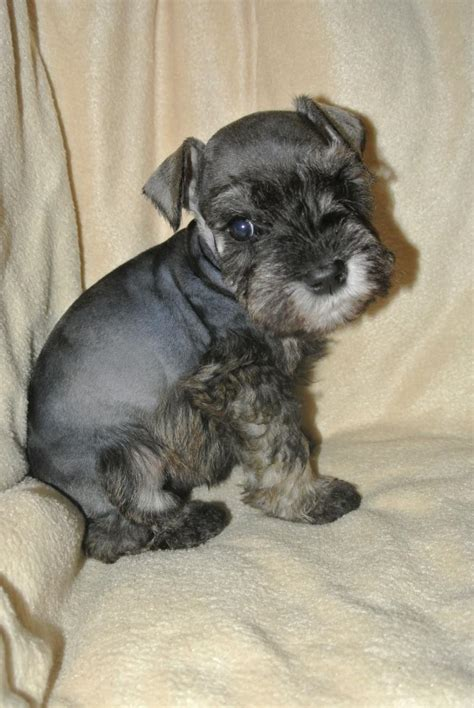 my keeps attacking my other for no reason valley ranch s schnoodles and miniature schnauzers all of our pet