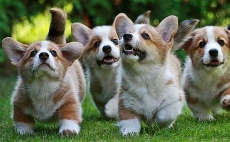 how much are corgi puppies what happens when these corgi puppies hear the dinner bell