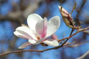 saucer magnolia trees picture growing information