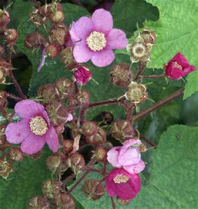 flowering raspberry shrub andy s northern ontario wildflower site flowering shrubs