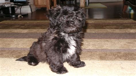 bichon shih tzu cross bichon shih tzu cross puppy shichon or zuchon wickford essex pets4homes