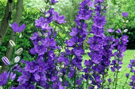 canula latiloba highcliffe variety plants garden how