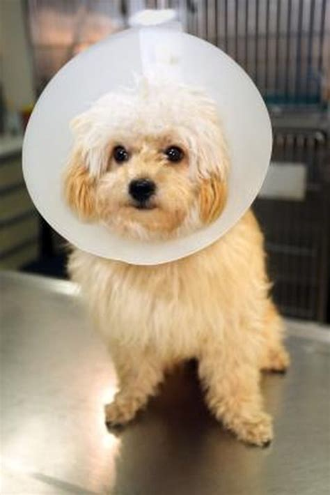 cone for dogs how to make a cone to prevent wound cuteness
