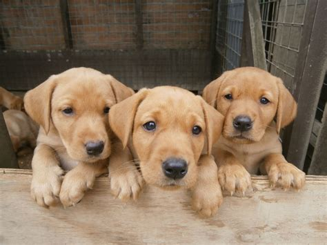 labrador puppies for sale in beautiful fox labrador puppies for sale peterborough cambridgeshire