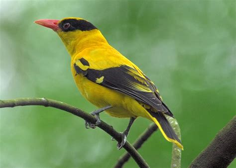 file black naped oriole jpg wikipedia