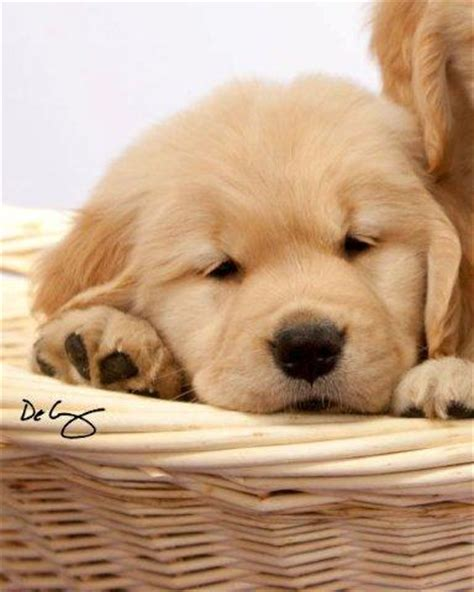 golden retriever mix puppies for sale in wisconsin akc golden retriever puppies in wisconsin photo