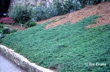 blue rug juniper growth rate juniperus horizontalis wiltonii common name blue rug juniper hardiness zones 4b to 9 habit