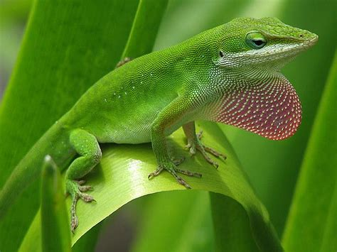 color changing lizard lizards and the language of colour change scientific