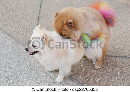 perros apareamiento apareamiento perros pomeranian