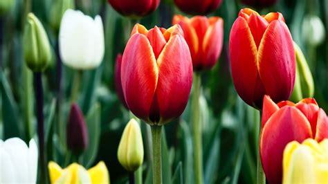 tulipano linguaggio dei fiori il tulipano fiori prerogative tulipano