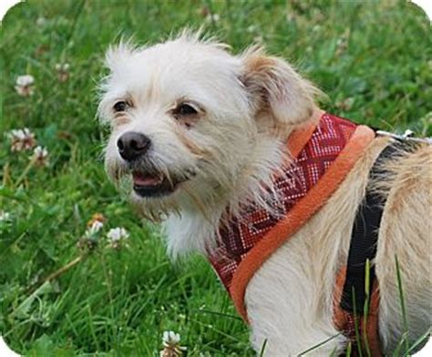 yorkie rescue san francisco san francisco ca yorkie terrier terrier mix meet a