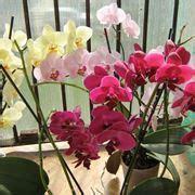come curare le orchidee in appartamento orchidee orchidee scopriamo insieme le orchidee