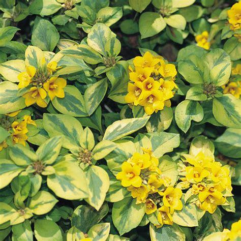 Sunset Gardening Zones - walkabout sunset 174 lysimachia congestiflora proven winners