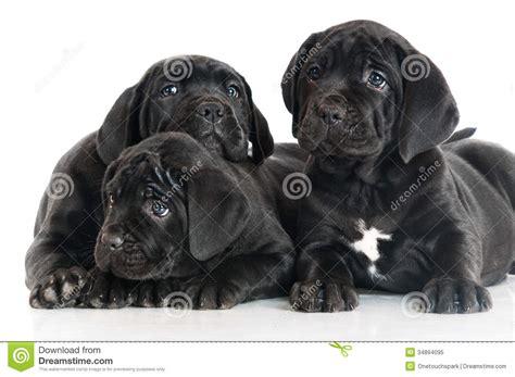 black corso puppies three adorable corso puppies royalty free stock photo image 34894095