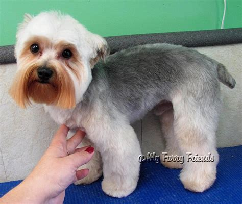 how to cut silky terrier hair 17 best images about grooming inspiration yorkie silky