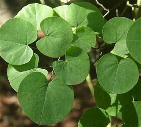 cercis occidentalis bark leaves pinterest