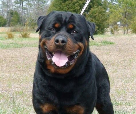 rottweiler for sale in dkv rottweilers german rottweiler males