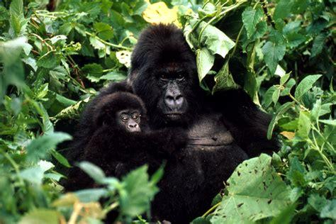 Mountain Gorilla | Gorillas | WWF