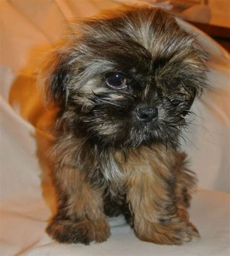 shih tzu at 6 weeks 52 best images about just small puppies on puppy names